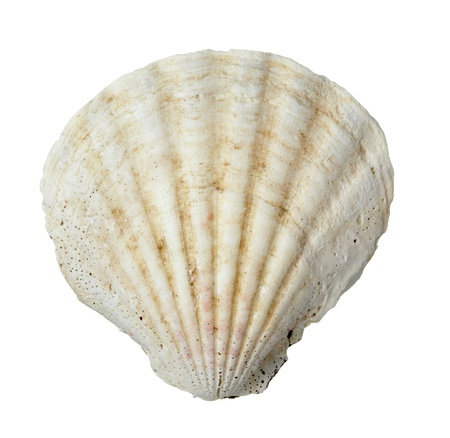 seashell: close up of  a seashell on  white background