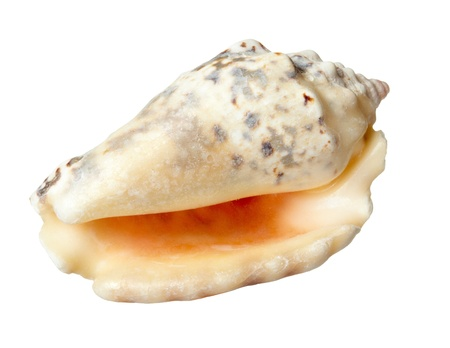 conch: close up of  a seashell