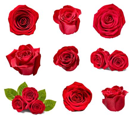 collection of various roses on white background. each one is shot separately