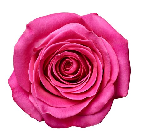 close up of roses on white background