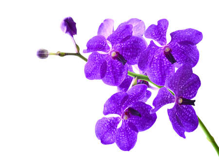 Vanda orchid. Isolated with a white background