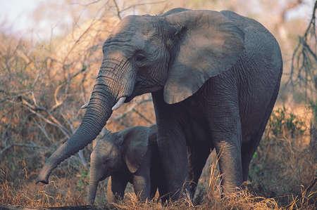 Mother elephant protecting baby elephant while grazing grass in the meadows.