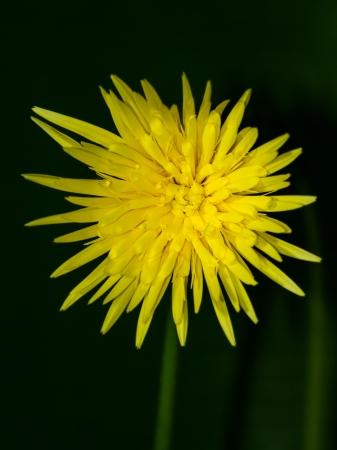 barberton daisy: yellow Barberton daisy Stock Photo