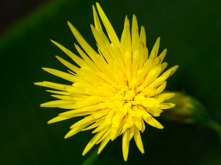 barberton daisy: Barberton daisy