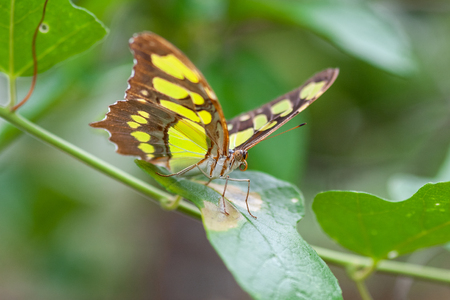Exotic butterfly on the leaf in natural environment in Belize. Stock Photo