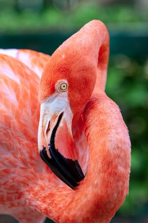 Portrait of Flamingo bird in his natural environment.