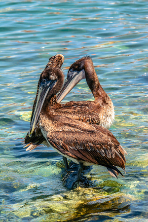 View on the pair of pelicans standing in the water.