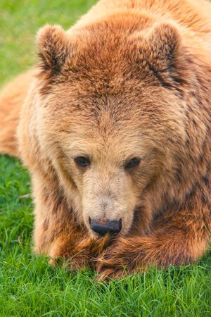 Portrait of the big brown bear laying down on the grass.