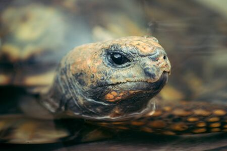 Closeup on the large turtle head half way submerged in the water. Stock fotó