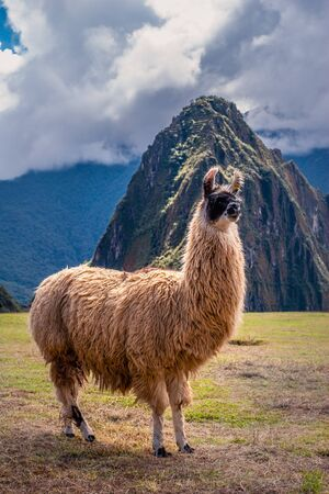Classic portrait of the Llama (alpaca) animal freely walking on the Machu Picchu mountain.
