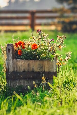 Old rustic wooden water bucket filled up with red flowers on the green grass during sunrise. Rural summer scene. Stock fotó