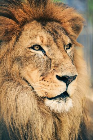 Portrait of the majestic animal, Lion the king.