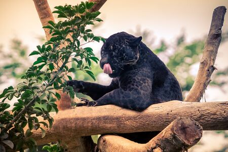 Black panther, wild cat nimbly climbing on the tree.