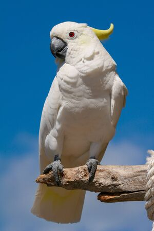 Portrait of the white cockatoo parrot seating on the branch withe the blue sky in the background.