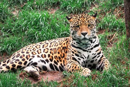 Portrait of the wild cat animal, Leopard  laying down on the grass looking to the camera.