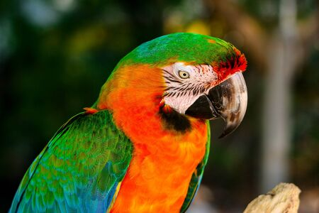 Portrait of the colorfully plumed Ara parrot in the natural environment.