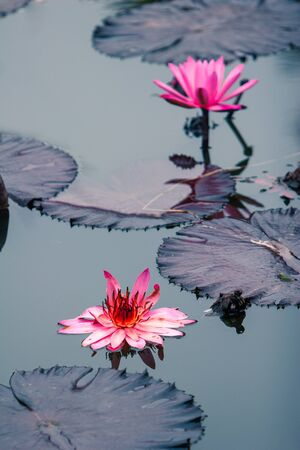 Pink water Lilly flower fully bloomed in their natural environment.