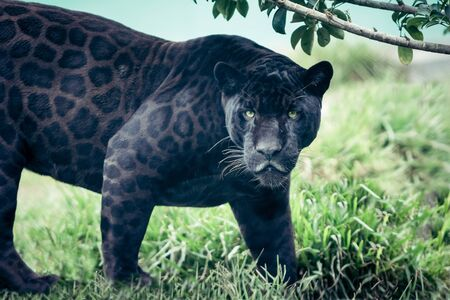 Portrait of the black panther, wild cat looking straight to the camera. Silent killer. Scary look.