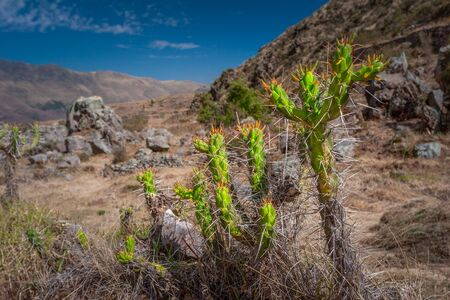 Green prickly Cactus plant growing in the field high in the peruvian Andes mountains. Stock fotó