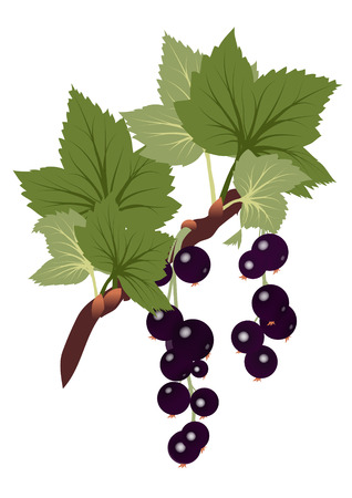 black currants branch with leaves on transparent background