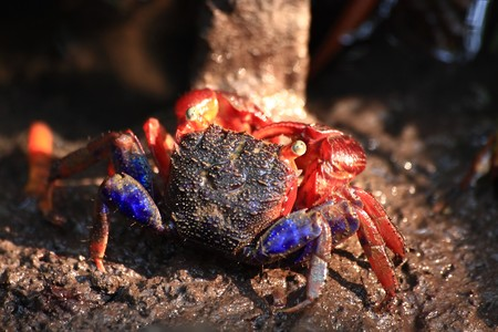Crap in mangrove forest  photo