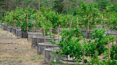 lemon tree: Lim�n granja de �rboles