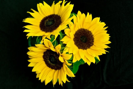 Three sunflowers with black background photo