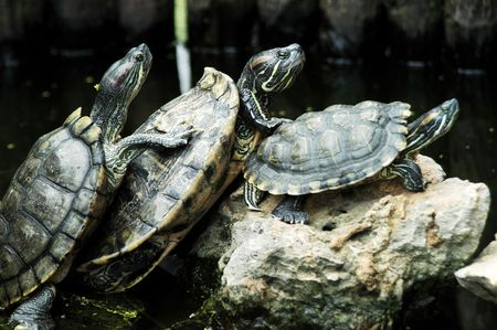 Turtle pile-up, three is a crowd!