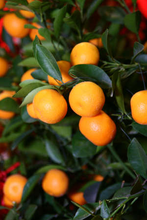 Chinese New Year Mandarin orange tree decoration. Intentional selective focus, narrow depth of field.