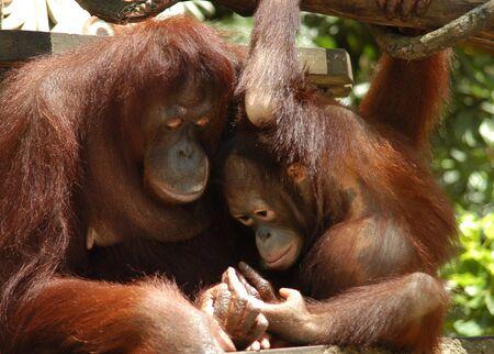 orang: Orang Utan - Mother & child , tender moment. Stock Photo