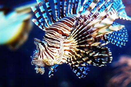 pink anemonefish: Close up shot of lion Fish.