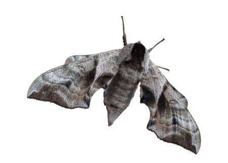 A giant moth isolated on a white background