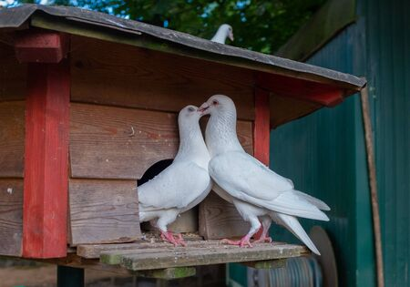 Two white breeding pigeons kiss tenderly Standard-Bild