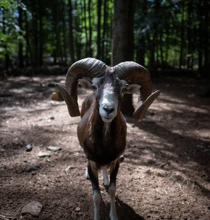 Frontal view of a male mouflon in the forest