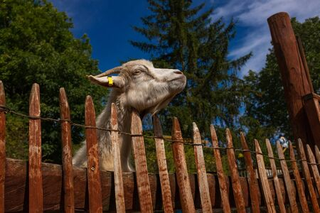 A white goat stretches its head over a fence