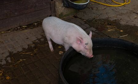 A little white pig at the drinking trough