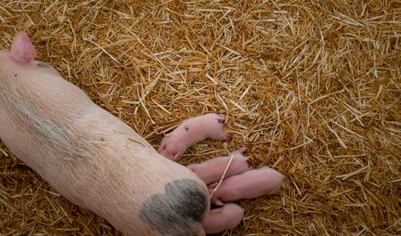 Four small pink piglets are suckled by the mother Standard-Bild