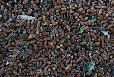 Many acorns falling on the forest floor Standard-Bild