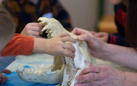 Detail of children's hands in biology class while examining an animal skull Standard-Bild