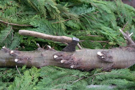 Detal of a felled tree with an ax in the trunk
