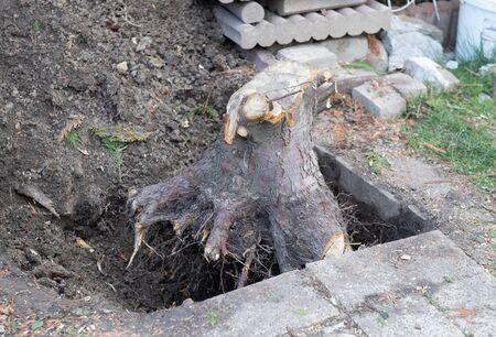 Excavated tree root of a fall tree