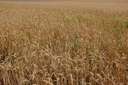 Wheat field like a carpet of wheat ears.