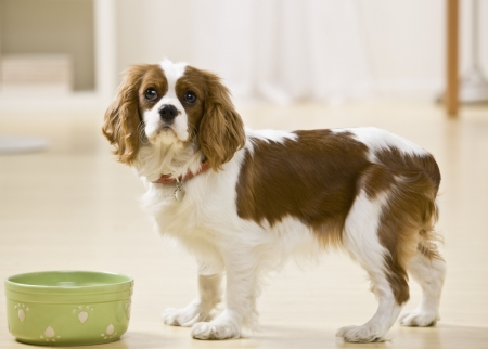 perro comiendo: Cachorro posando con taz�n de alimentos. Horizontalmente enmarcado disparo.