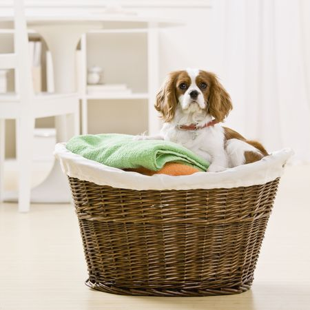 Dog sitting in laundry basket. Square format. Stock Photo - 6394227