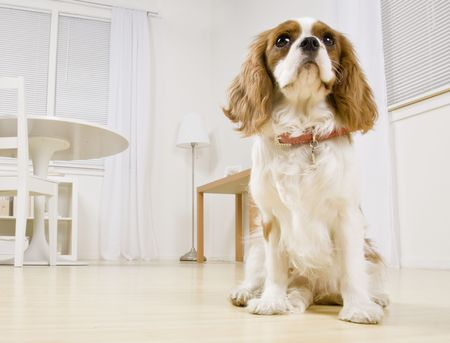indoors: Portrait of dog in living room. Horizontally framed shot.