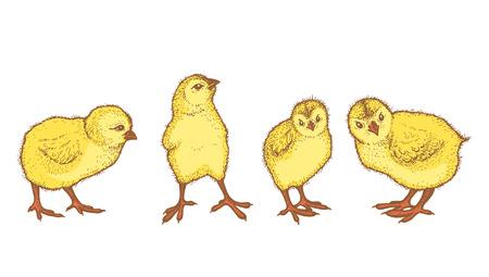 chick: Vector vintage line art illustration on white background