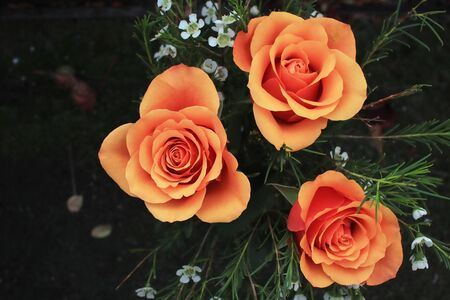 blooming orange roses growing and  black background