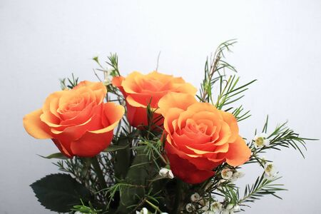 blooming orange roses growing and  white background