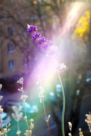 Sunbeams, strikes lavender flowers - a light effect
