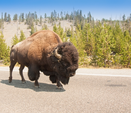 American Bison Sharing the Road at Yellowstone National Parko photo